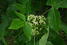 Common hoptree flower (photo by NCC)