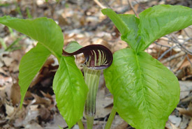 Jack-in-the-pulpit (Photo by NCC)
