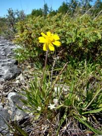 Hyménoxys herbacé, île Manitoulin, Ontario (Photo de CNC)