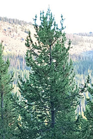 Lodgepole pine (Photo by Robb Hannawacker, iNaturalist, CC0 1.0)