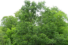 Northern red oak (Photo by Owen Clarkin, iNaturalist, CC BY-NC 4.0)