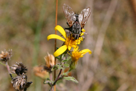 A parasitic fly pollinating a hairy golden aster (Photo by Diana Bizecki Robson)