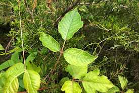Poison ivy. Common hoptree's three compound leaflets can be confused with poison ivy, but a short middle stem is a giveaway; on poison ivy, the middle stem is much longer than the stems of the side leaflets. (photo by NCC)