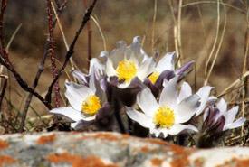 Prairie crocus in full bloom (Photo by NCC)