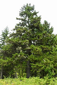 Red spruce (Photo by jlmason, iNaturalist, CC BY-NC 4.0)