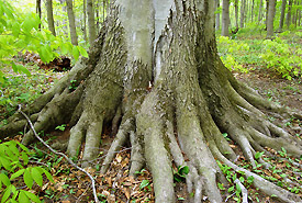 Roots of an old American beech tree at Clear Creek Forest (Photo by NCC)