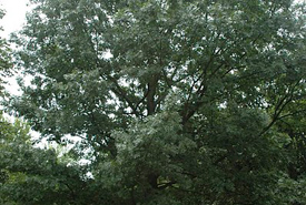 Shumard oak (Photo from Wikimedia Commons)