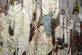 How many kinds of lichen can you spot in this picture? There are at least five different types. (Photo by Mac Pitcher)