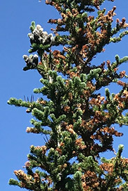 Subalpine fir (Photo by Robb Hannawacker, iNaturalist, CC0 1.0)