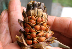 Whitebark pine seeds in cones (Photo by Don Pigott)