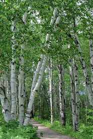White birch (Photo by stevenland, iNaturalist, CC BY-SA 4.0)
