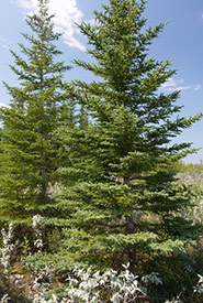 White spruce (Photo by Samuel Brinker, iNaturalist, CC BY-NC 4.0)