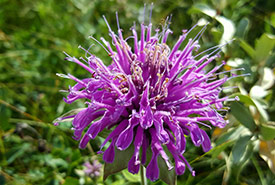 Wild bergamot (Photo by Sarah Ludlow/NCC staff)