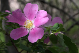 Wild prairie rose at Nebo Property (Photo by Mike Dembeck)