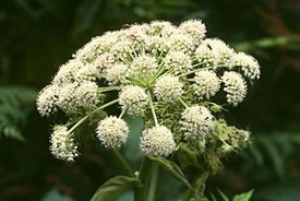 Woodland angelica (Photo by Wikimedia Commons)