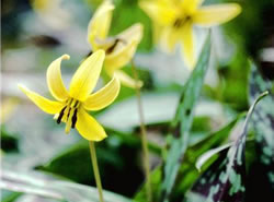 Yellow trout-lily (Photo by Jean Isaacs)